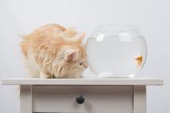 Goldfish scared cat Stock Photos
