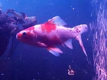 Goldfish schubukin Fotografia Royalty Free
