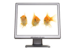 Goldfish Screen. An isolated flat panel LCD monitor, with three isolated golden fish in it on a white background Royalty Free Stock Photos