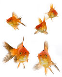 Goldfish set Royalty Free Stock Images