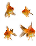 Goldfish set Stock Image