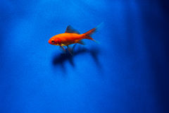 Goldfish with shadow underwater Royalty Free Stock Images
