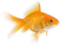Goldfish simple images libres de droits