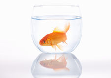 Goldfish in a small bowl Stock Photo