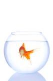 Goldfish solo fotografie stock