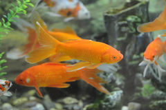 Goldfish. Some  beautiful goldfish  in water Stock Photos