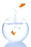 Goldfish splash Royalty Free Stock Images