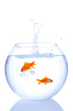 Goldfish splash Royalty Free Stock Image