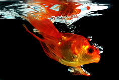 Goldfish splashing water royalty free stock image