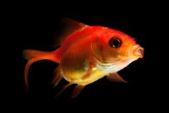 Goldfish Studio Aquarium Shot Stock Image