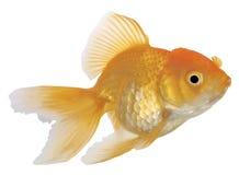 Goldfish su priorità bassa bianca fotografia stock