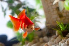 Goldfish. Sucks a rocks in the aquarium Stock Photo