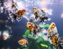 Goldfish sucks a rocks Royalty Free Stock Images