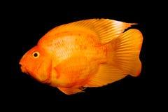 Goldfish sul nero. Fotografie Stock