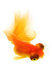 Goldfish sur le blanc Photographie stock