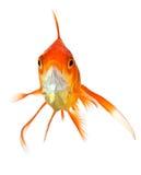 Goldfish sur le blanc - vue de face Photographie stock