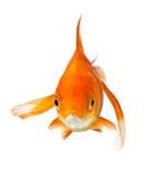 Goldfish sur le blanc - vue de face Photos stock