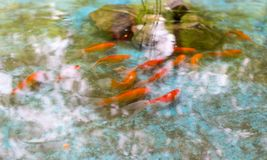 Goldfish in the surface of the water stock photos