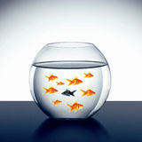Goldfish swim. In an aquarium Royalty Free Stock Photography
