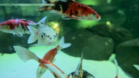 Goldfish swim in an aquarium. Close up stock footage