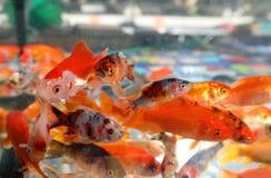 Goldfish swim in the aquarium of the pet shop. Many goldfish swim in the aquarium of the pet shop stock photo