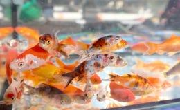 Goldfish swim in an aquarium in a pet shop. Many small goldfish swim in an aquarium in a pet shop stock image