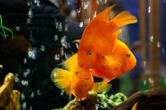 Goldfish swim in a large aquarium with green plants and air bubbles royalty free stock photo