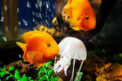 Goldfish swim in a large aquarium with green plants and air bubbles stock images