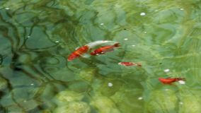 Goldfish swim in a pond, the camera moves over the fish stock video footage