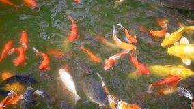 Goldfish Swim In The Pond. Colorful goldfish swim chaotically at surface of pond. To calm nerves and relaxation stock footage
