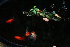 Goldfish that swim in the pond stock photo