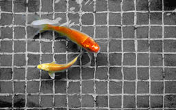 Goldfish swiming in the pool. Two goldfish swiming in the pool Royalty Free Stock Photos