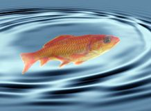 Goldfish swimming Stock Photography