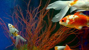 Goldfish Swimming In Aquarium. Goldfish Swimming In Freshwater Aquarium stock video footage