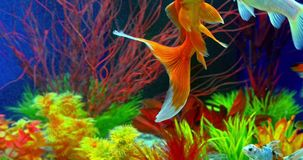 Goldfish Swimming In Aquarium. Goldfish Swimming In Freshwater Aquarium stock footage