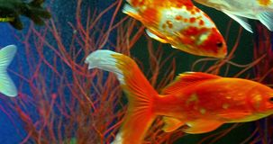 Goldfish Swimming In Aquarium stock video footage
