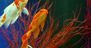 Goldfish Swimming In Aquarium. Goldfish Swimming In Freshwater Aquarium stock video