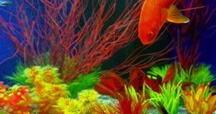 Goldfish Swimming In Aquarium stock footage