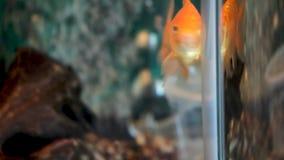Goldfish Swimming in Aquarium Stock Photo