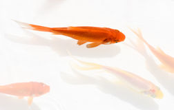 Goldfish swimming,Chinese painting style Royalty Free Stock Images
