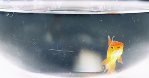 Goldfish swimming in fish tank stock video footage