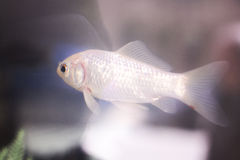 Goldfish swimming in fish tank Stock Image