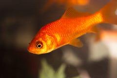 Goldfish swimming in fish tank Stock Photo