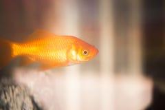 Goldfish swimming in fish tank Royalty Free Stock Images