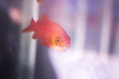 Goldfish swimming in fish tank Stock Photos