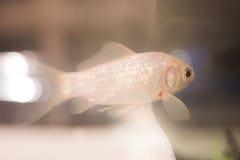 Goldfish swimming in fish tank Royalty Free Stock Photography