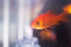 Goldfish swimming in fish tank Royalty Free Stock Photo