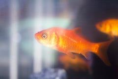 Goldfish swimming in fish tank Royalty Free Stock Photos