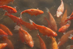 Goldfish swimming free Royalty Free Stock Photos
