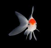 Goldfish swimming stock image